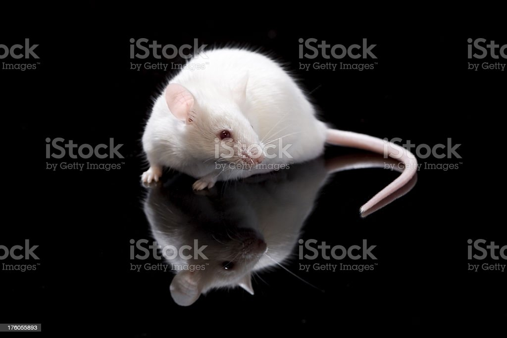 Cute white mouse royalty-free stock photo