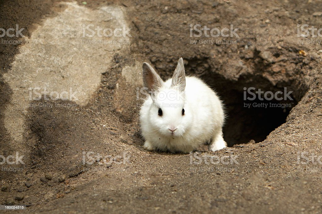 Cute White Rabbit leaving burrow stock photo