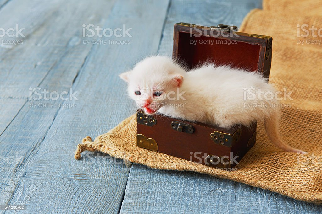 Cute white tiny Kitten in jewel box. stock photo