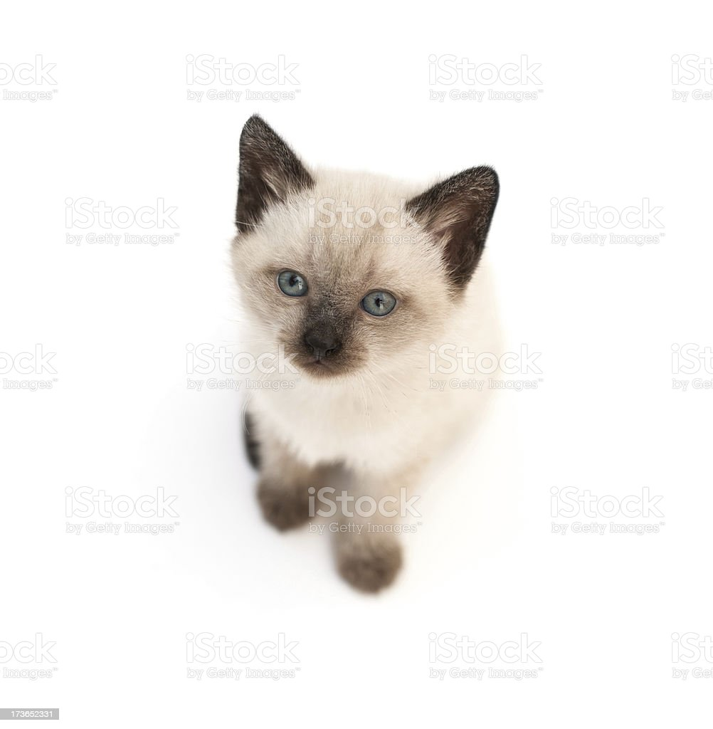 Cute White-beige kitten with Blue Eyes stock photo