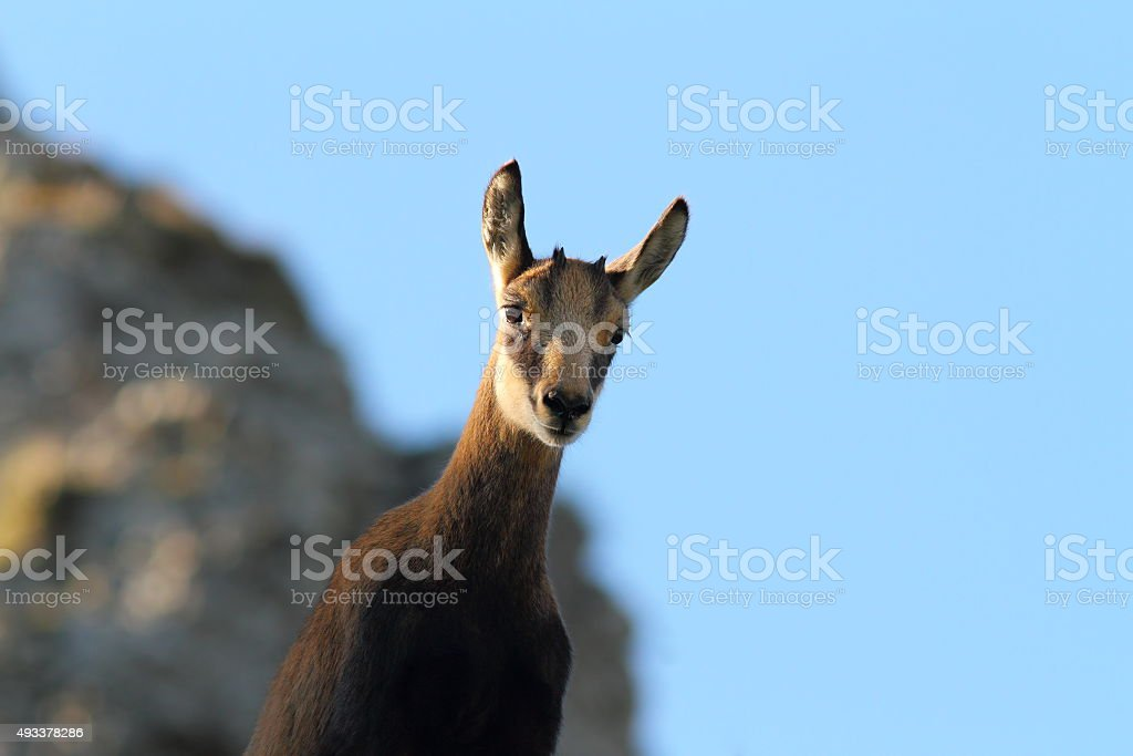 cute wild chamois youngster looking at camera stock photo