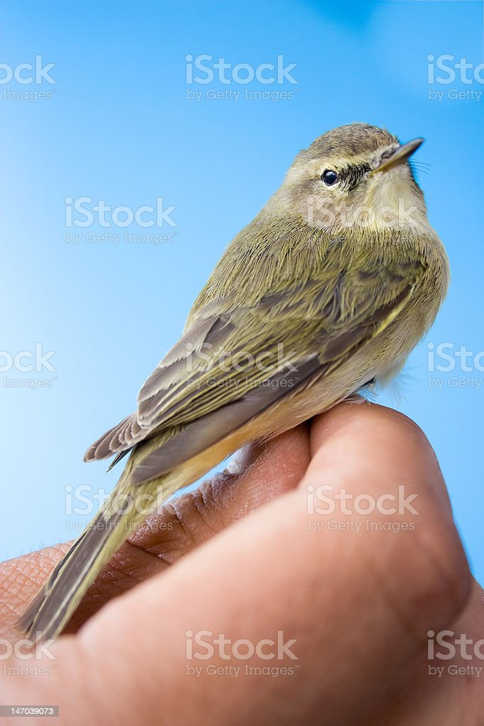 Cute Willow Warbler royalty-free stock photo