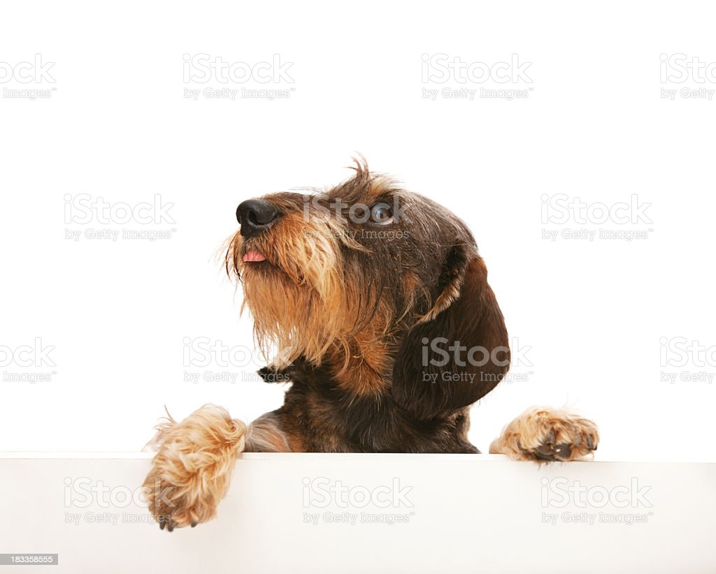 Cute wire-haired dachshund looking up at copy space stock photo