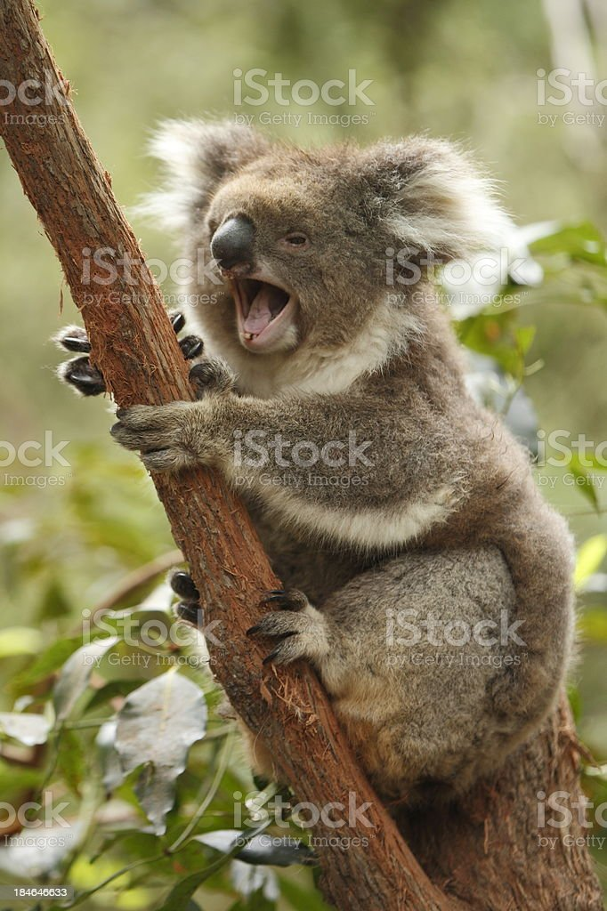 A cute yawning fuzzy Koala sitting in a tree in the forest royalty-free stock photo