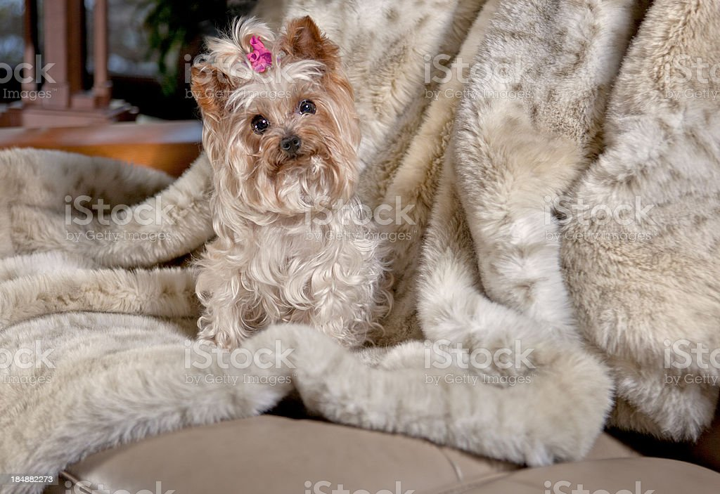 Cute Yorkie on a Fur Throw stock photo