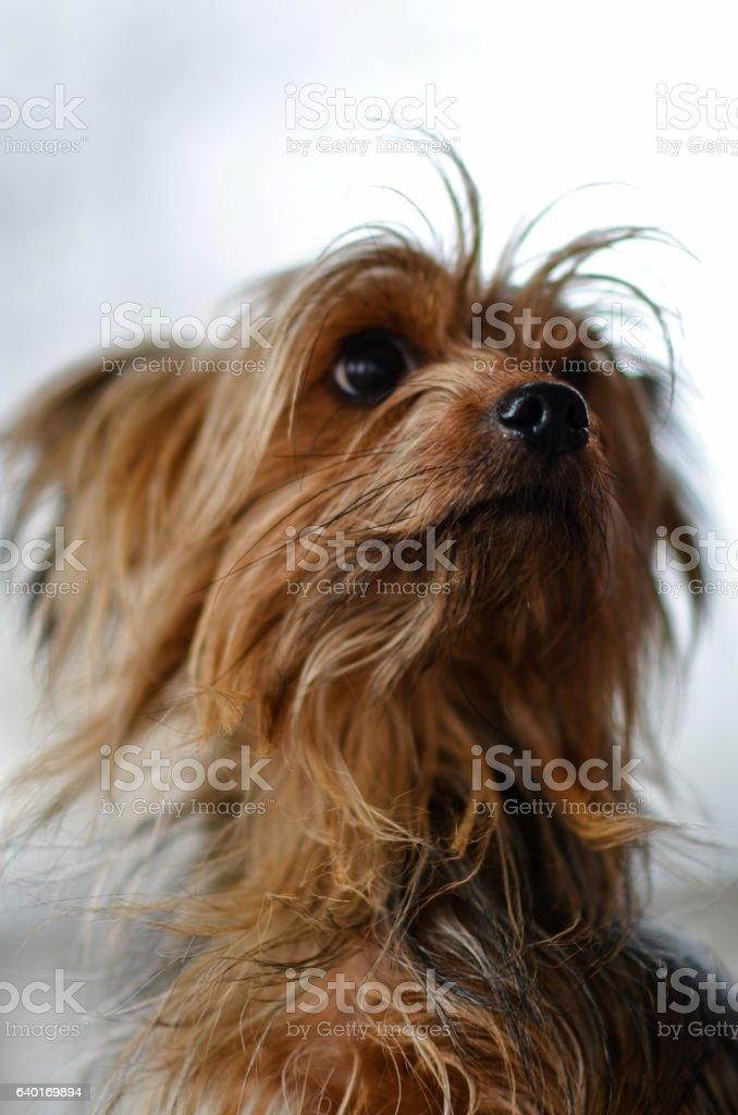 Cute Yorkie Puppy stock photo