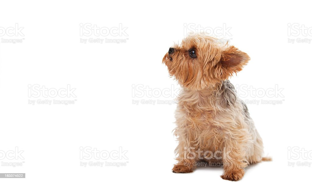 Cute Yorkshire Terrier  looking up at copy space while sitting royalty-free stock photo