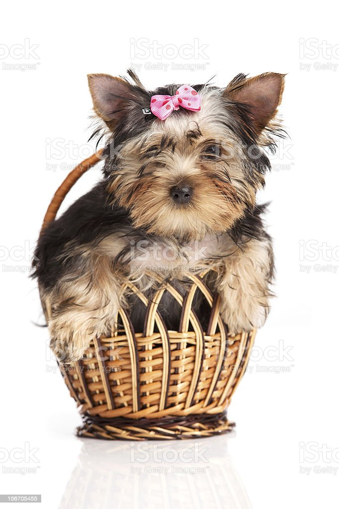 Cute yorkshire terrier puppy in a basket royalty-free stock photo