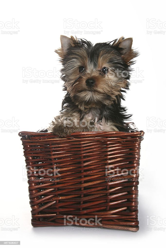 Cute Yorkshire Terrier Puppy in basket brave royalty-free stock photo