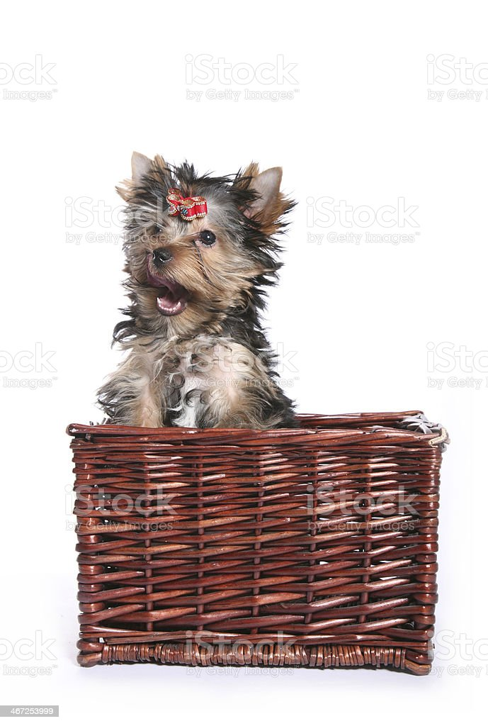 Cute Yorkshire Terrier Puppy in basket licking right royalty-free stock photo