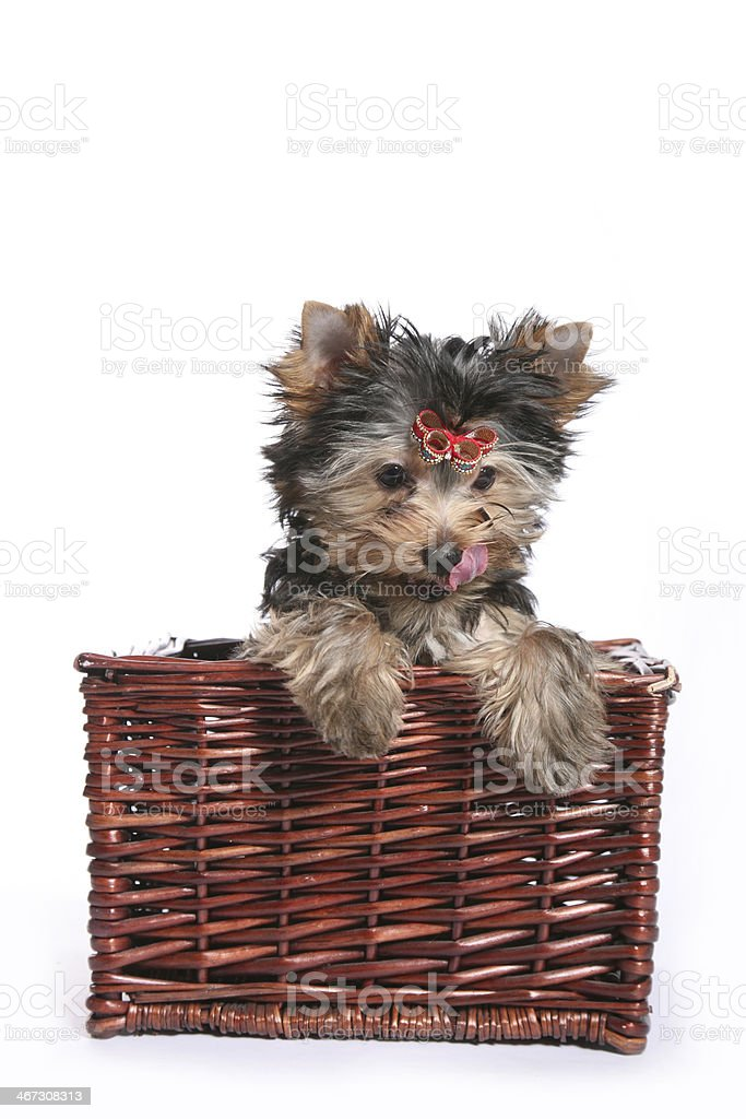 Cute Yorkshire Terrier Puppy in basket looking straigh down royalty-free stock photo
