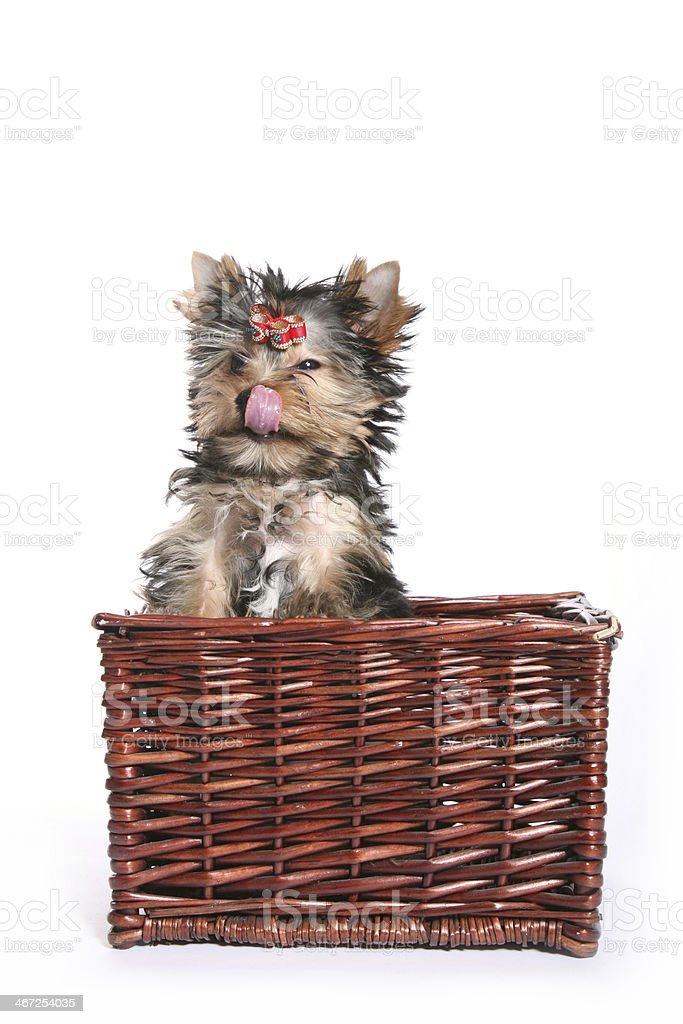 Cute Yorkshire Terrier Puppy in basket sneezing royalty-free stock photo