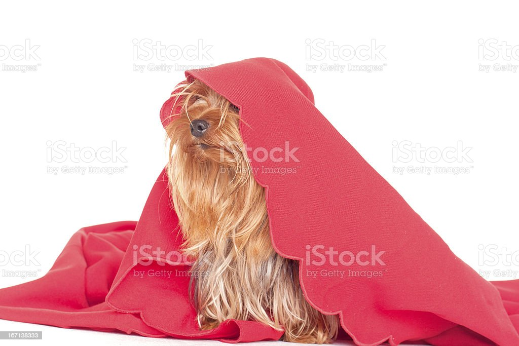 cute yorkshire terrier puppy royalty-free stock photo