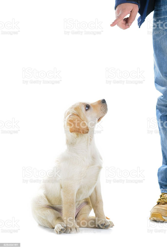 Cute young labrador looking at owner stock photo