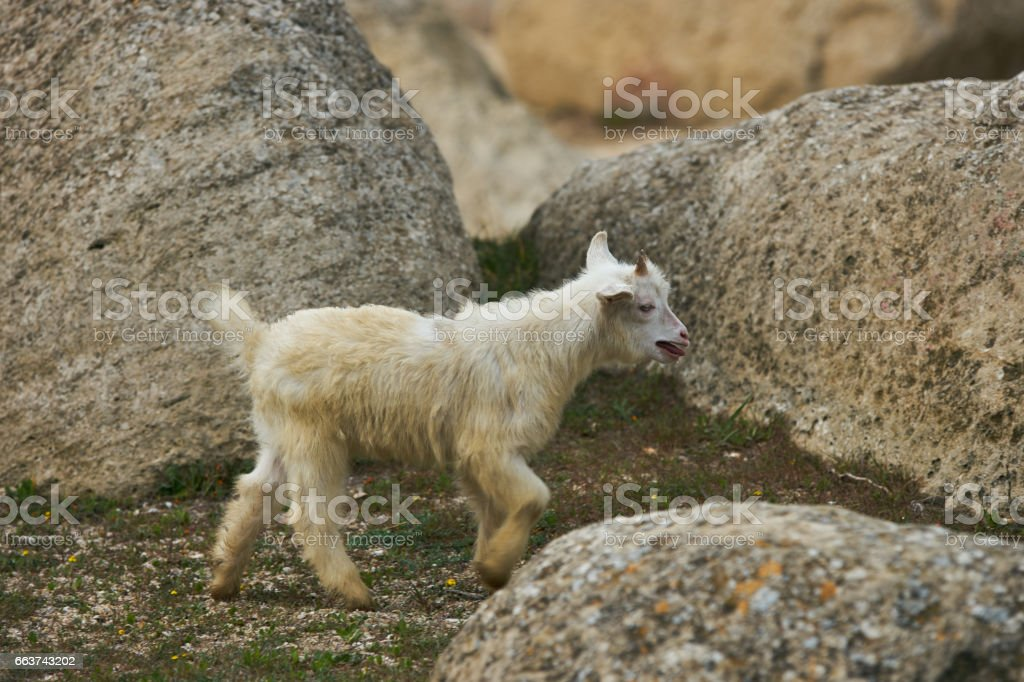 Cute Young Little white goatling with horns stock photo