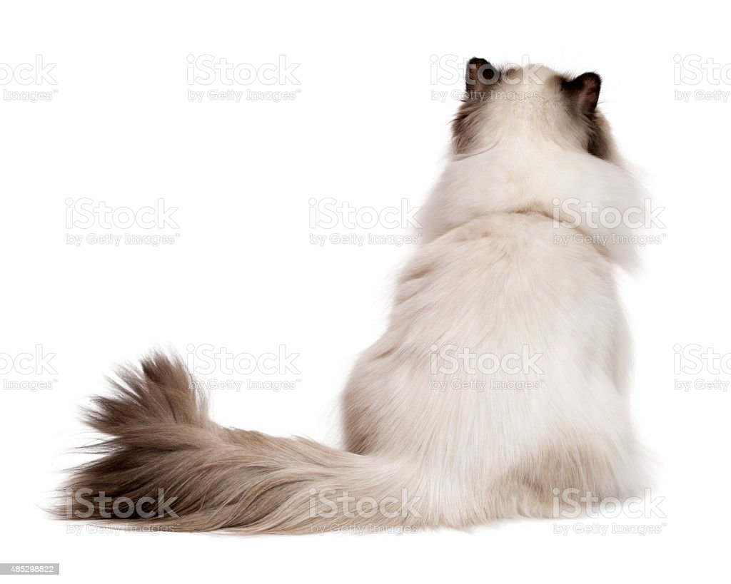 Cute young persian seal colourpoint cat photographed from behind stock photo