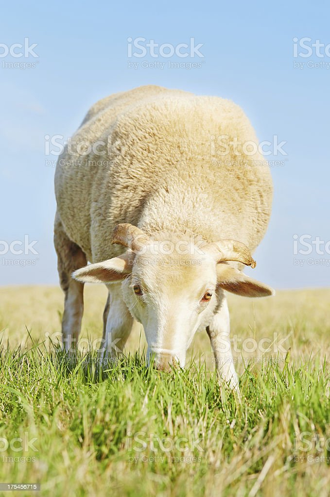 Cute young ram eating grass royalty-free stock photo