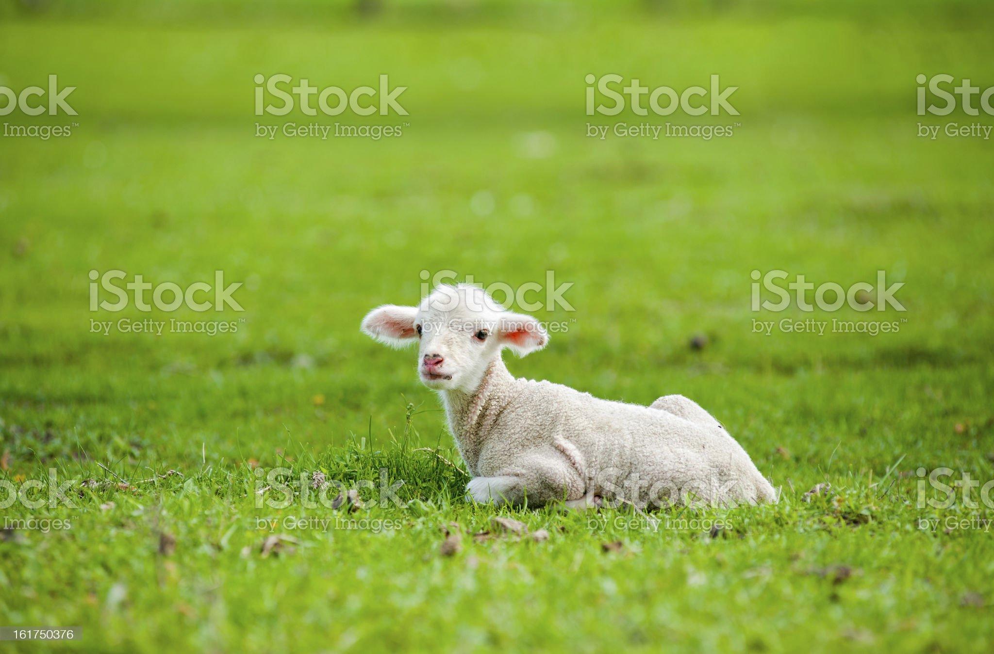 Cute young sheep royalty-free stock photo