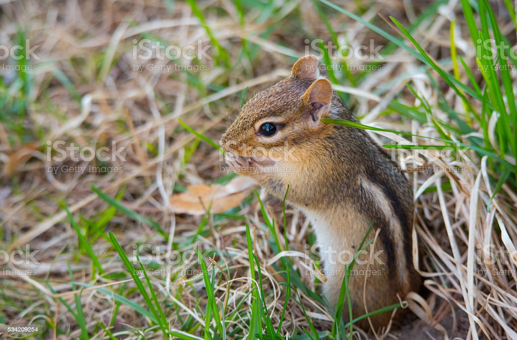 Cutest little chipmunk ever. (Tamias) stock photo