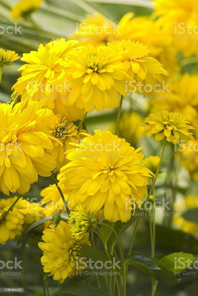 Cutleaf Coneflower (Rudbeckia laciniata 'Goldquelle') - V royalty-free stock photo