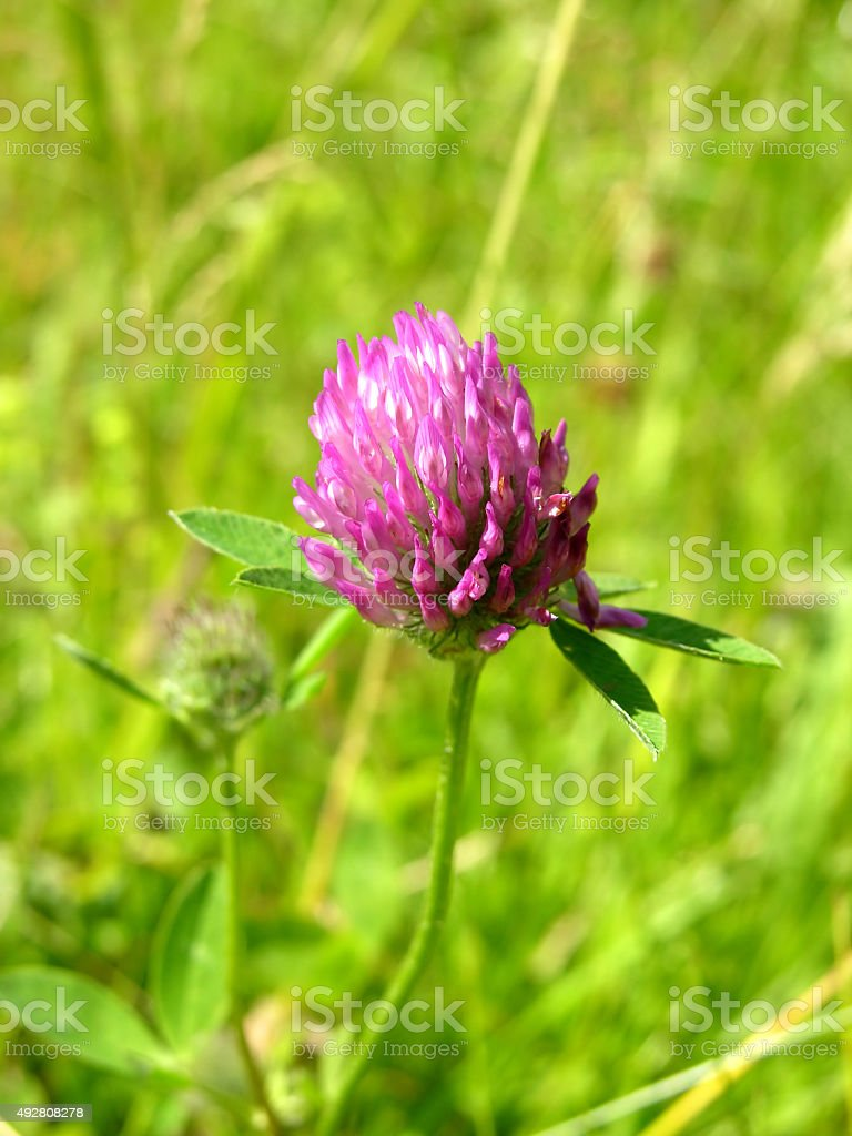 Cutout with the bloom of red clover stock photo