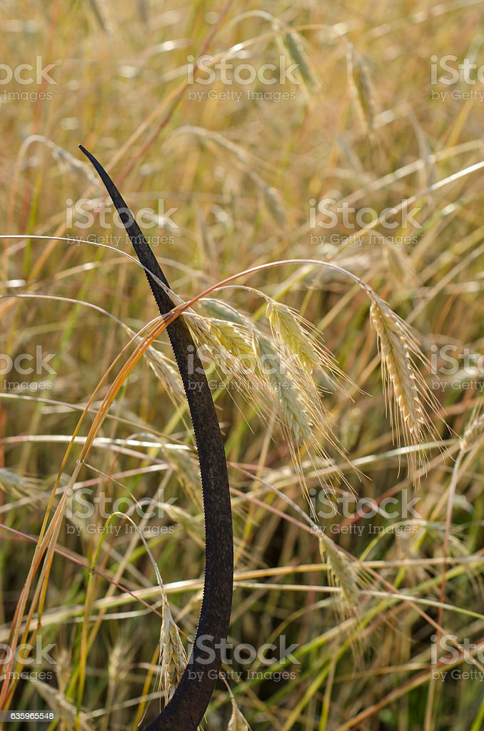 Cuts a sickle rye stock photo