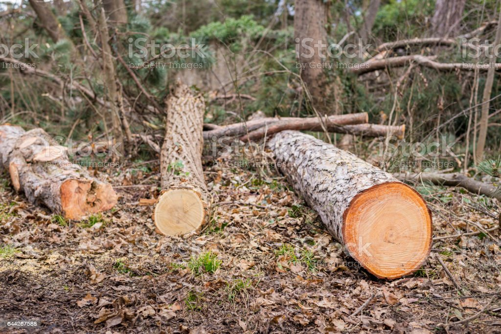 cutted trees in a forest stock photo