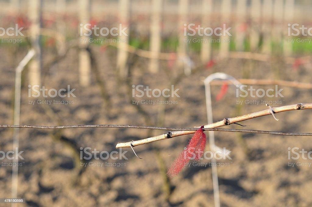 Cutted Winnica na początku wiosny zbiór zdjęć royalty-free