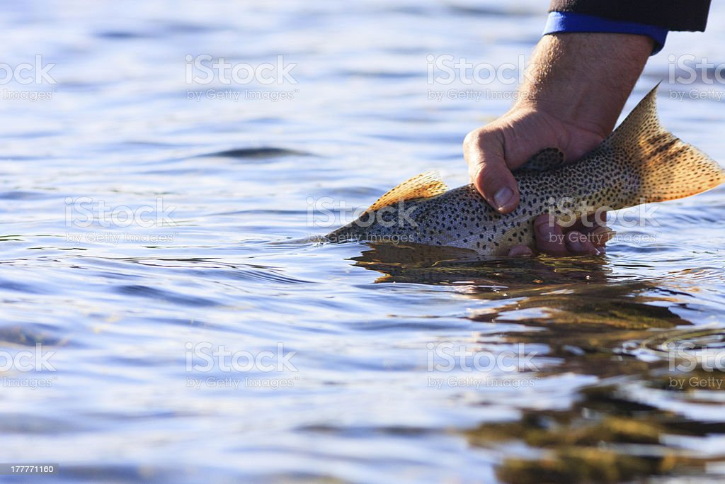 Cutthroat Release royalty-free stock photo