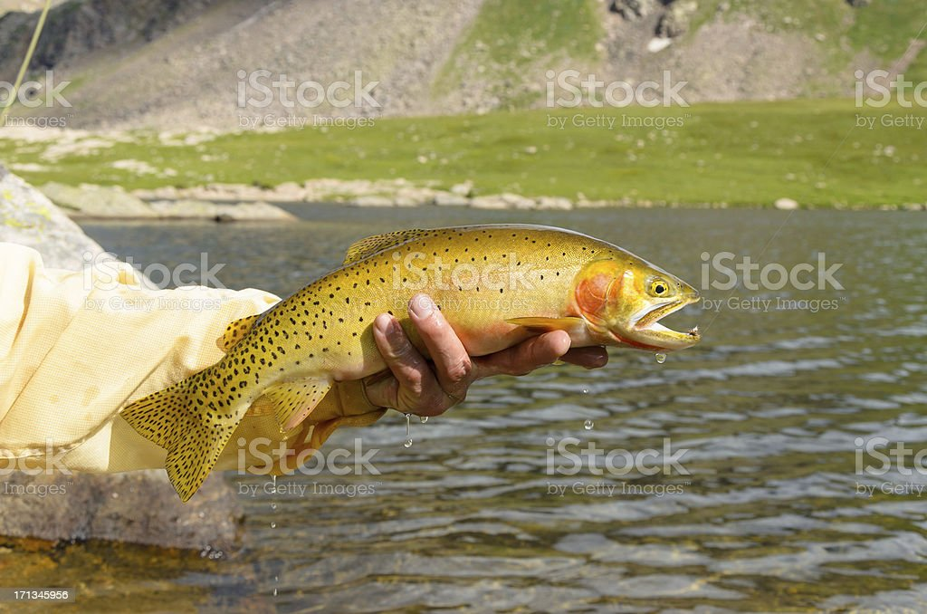 Cutthroat Trout Closeup stock photo