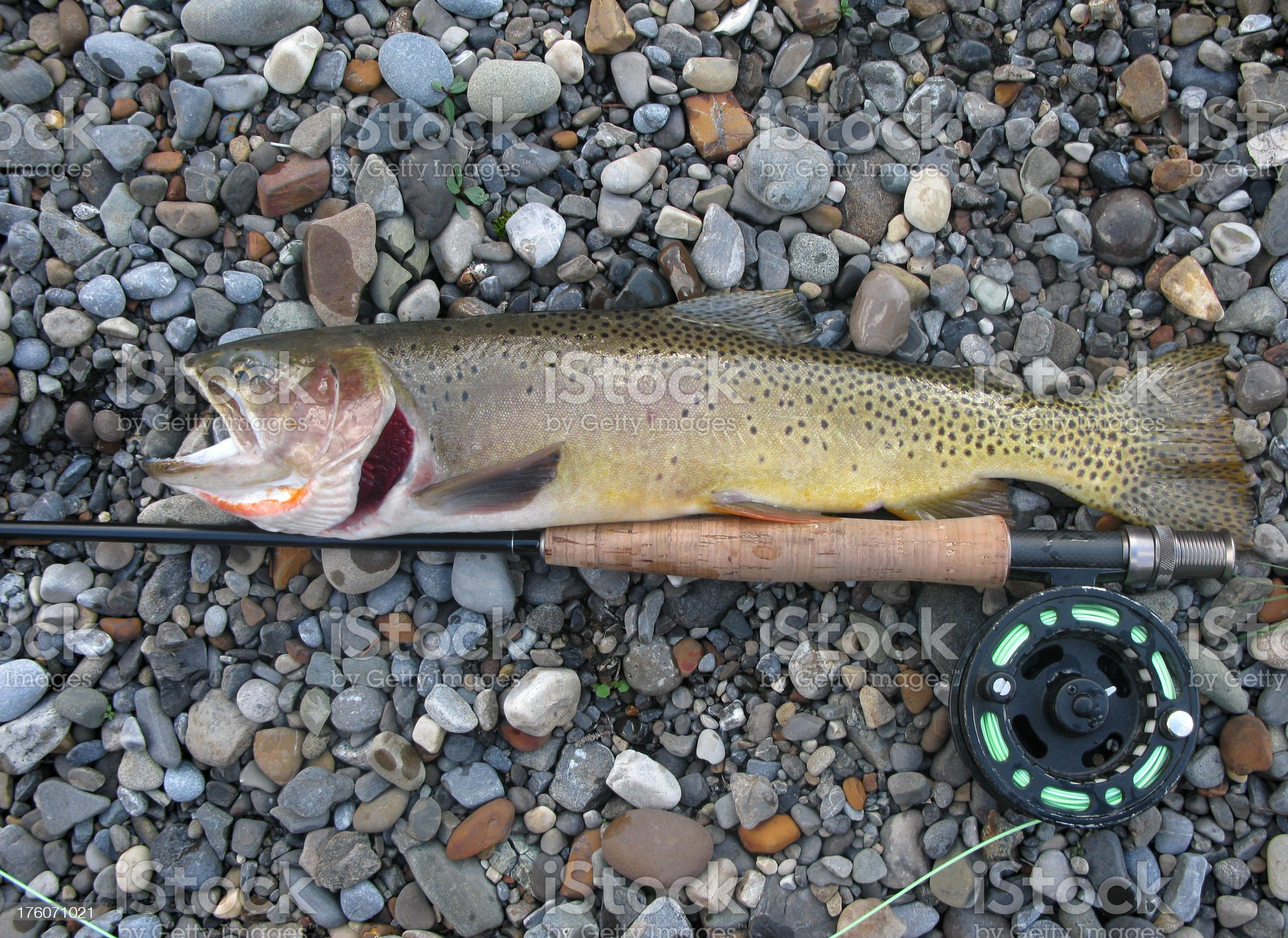 Cutthroat Trout Close-up royalty-free stock photo