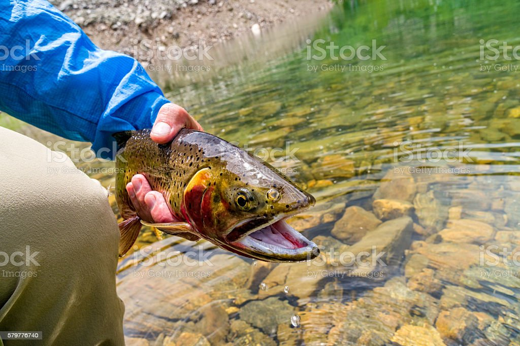 Cutthroat Trout Fly Fishing stock photo