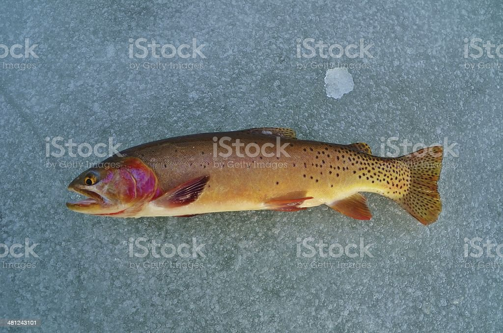 cutthroat trout royalty-free stock photo