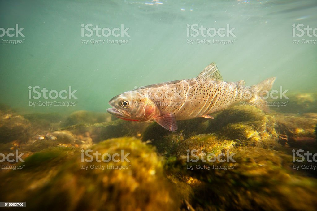 Cutthroat Trout Underwater stock photo