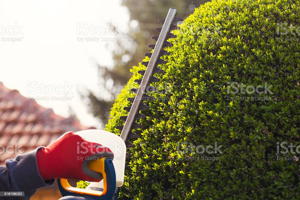 Cutting a hedge with electrical hedge trimmer. Selective focus stock photo
