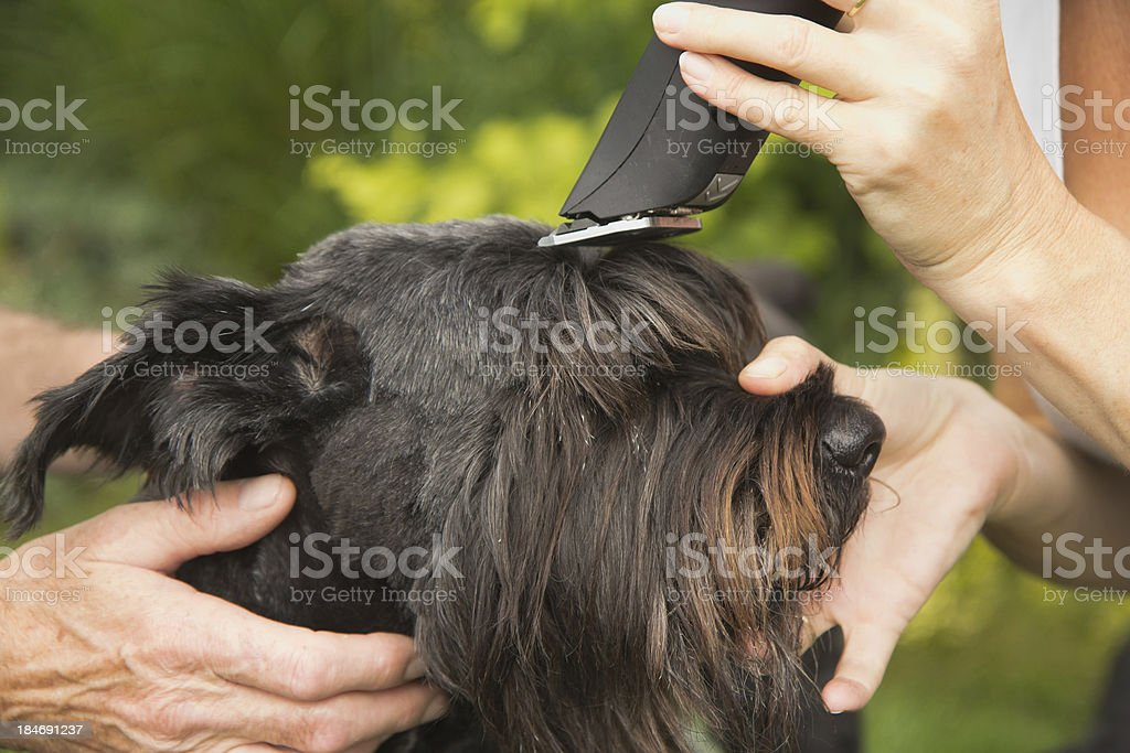 Cutting big black schanuzer dog by machine stock photo
