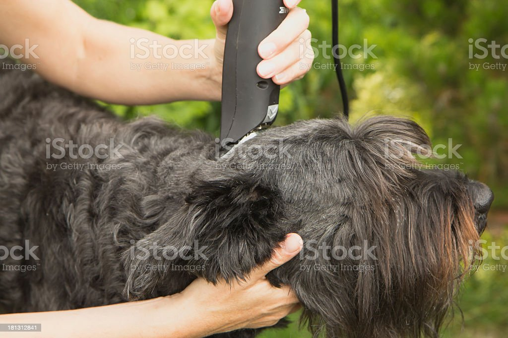 Cutting big black schanuzer dog stock photo