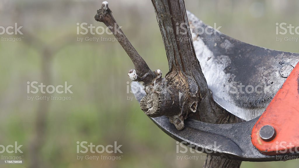 cutting branches in vineyard stock photo