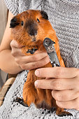 cutting claws of guinea pig with nail clipper