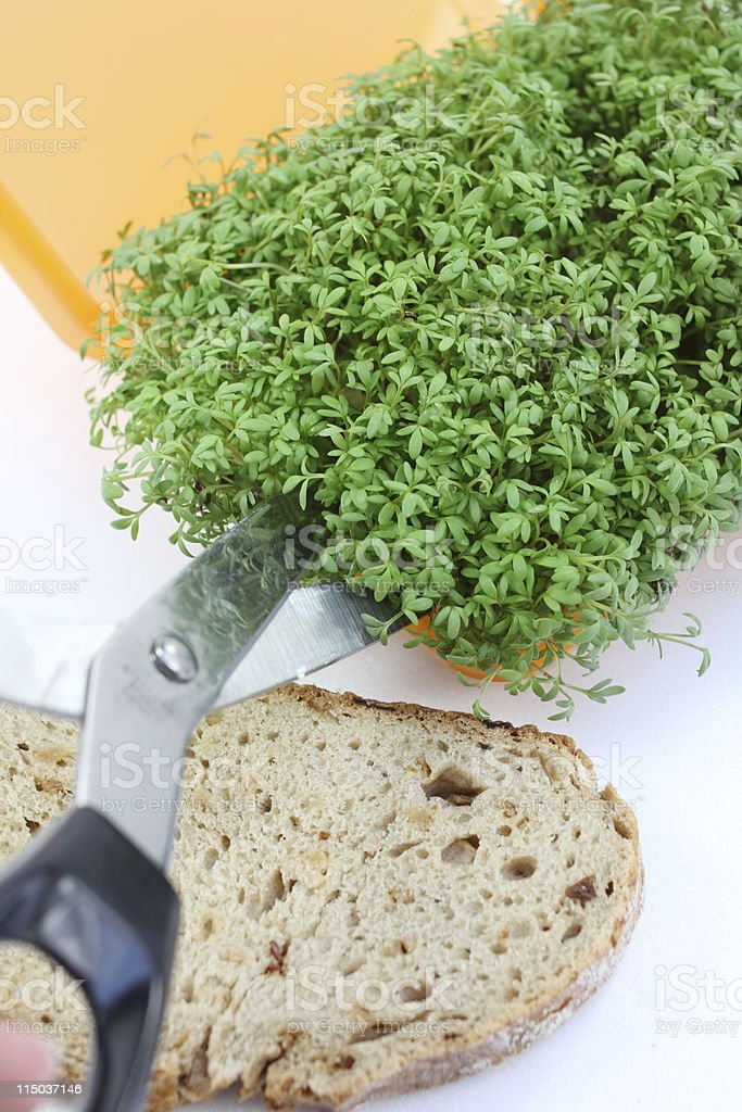 cutting cress stock photo