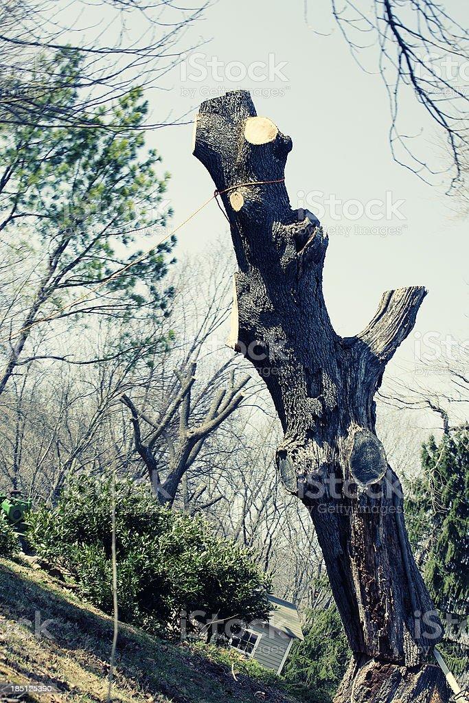 Cutting Down an Old Oak Tree stock photo
