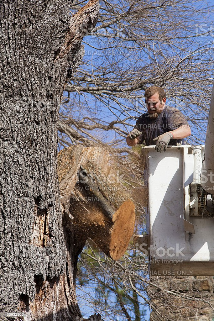 Cutting Down an Old Oak Tree royalty-free stock photo
