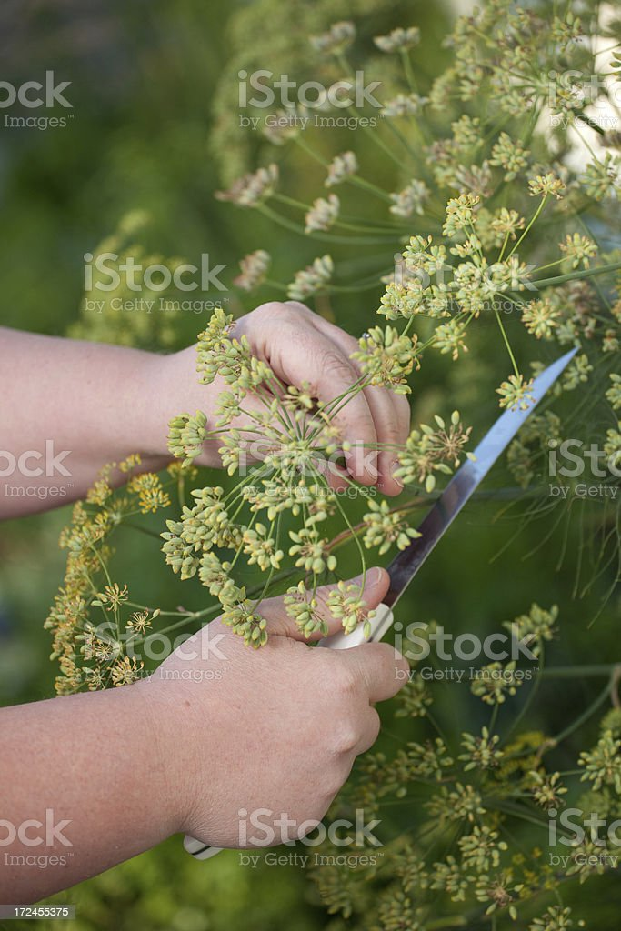 Cutting Fennel royalty-free stock photo
