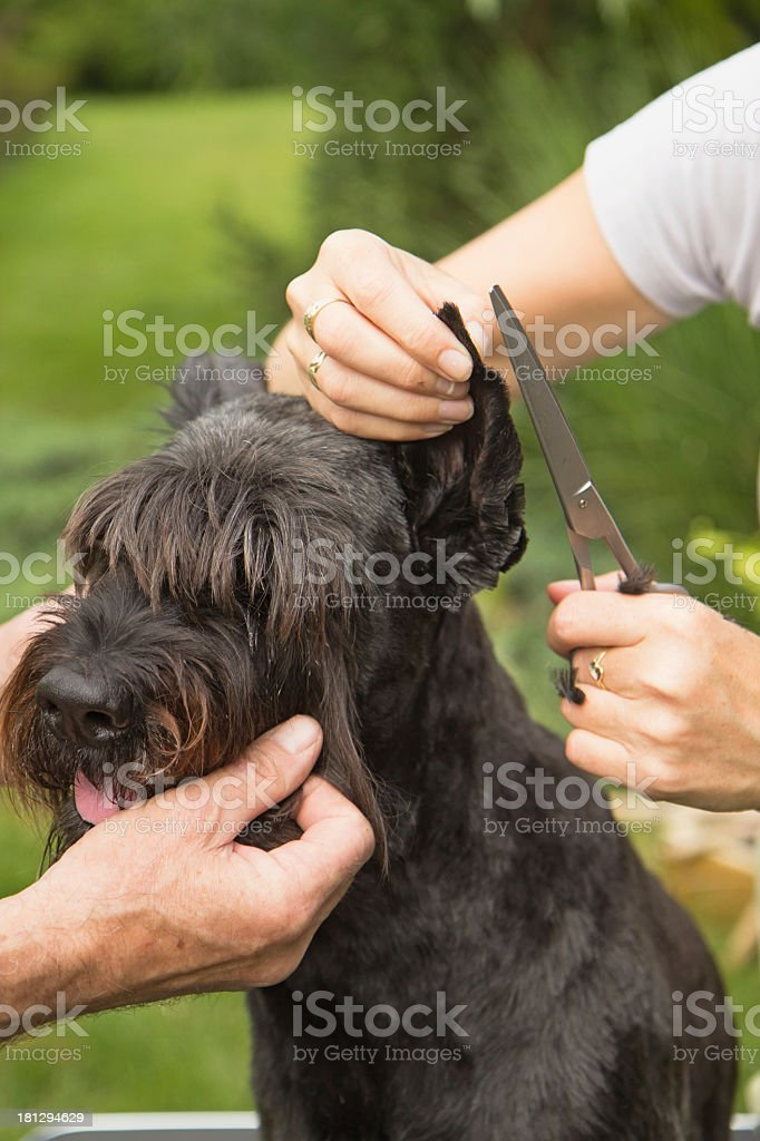Cutting hair on the dog's ears stock photo