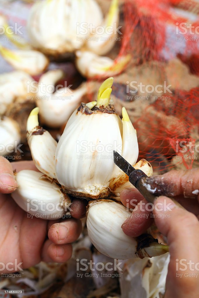 cutting narcissus stock photo
