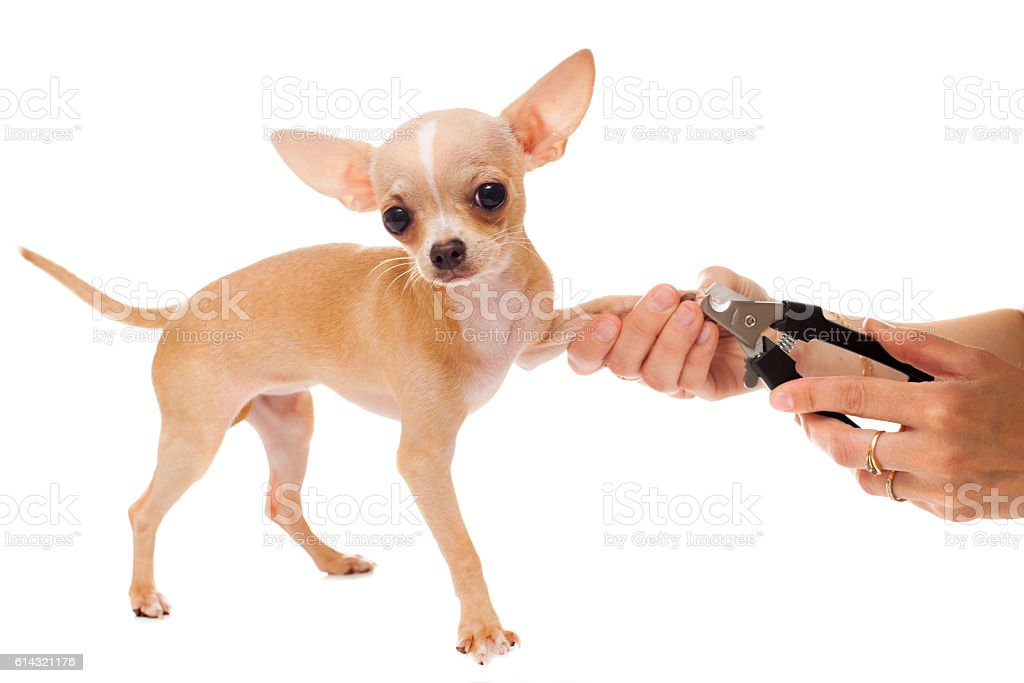 Cutting of nails of chihuahua dog stock photo
