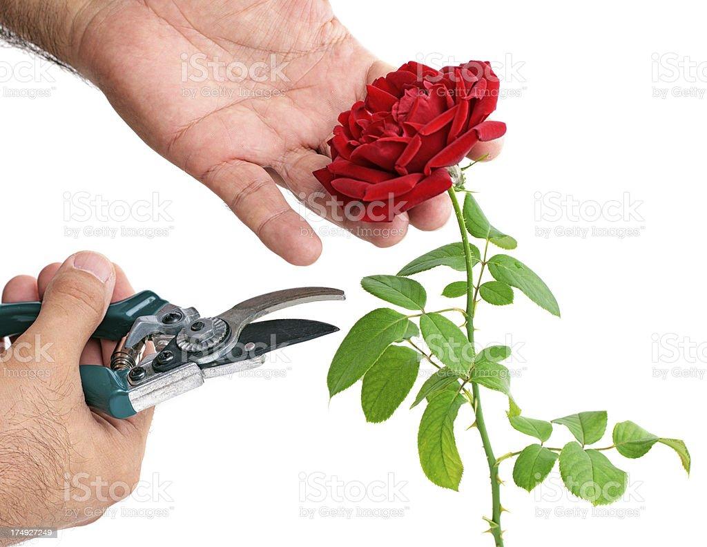 Cutting Rose royalty-free stock photo