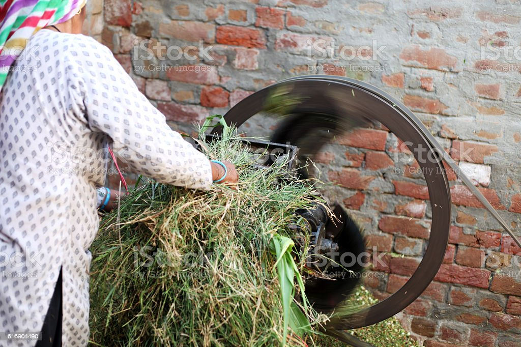 Cutting silage for domestic animal (Animal Food) stock photo