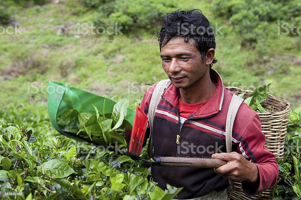 Cutting tea leaves stock photo