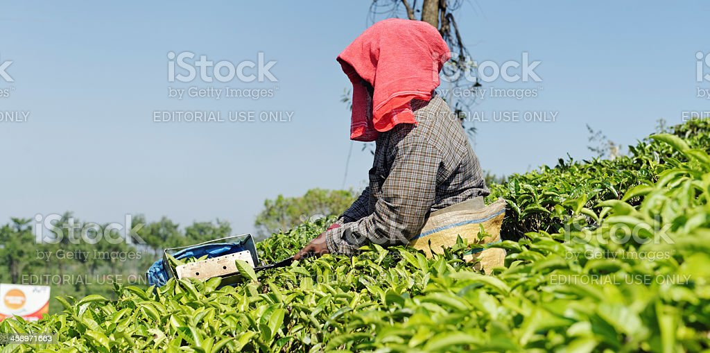 Cutting tea leaves royalty-free stock photo